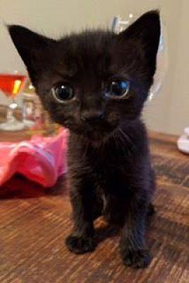 Austin Tx Domestic Mediumhair Meet Pepper A Pet For Adoption In 2020 Pet Adoption Pets Cats