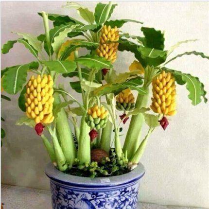 Dwarf Banana Bonsai Seeds Kgreen Pernah Tengok Memang
