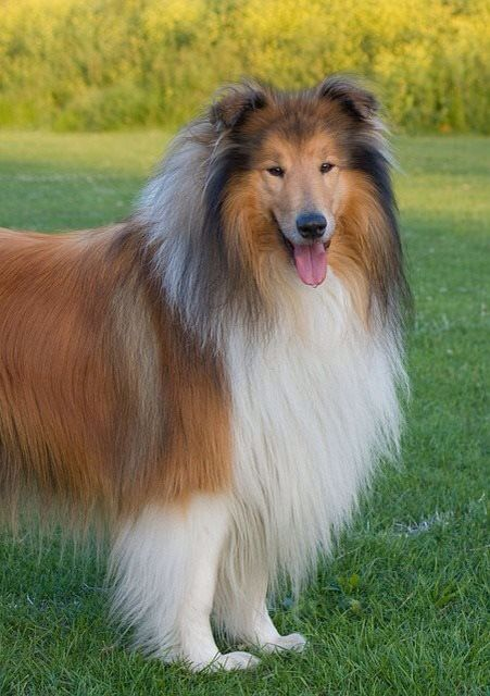 Rough Collie Collie Breeds Dogs