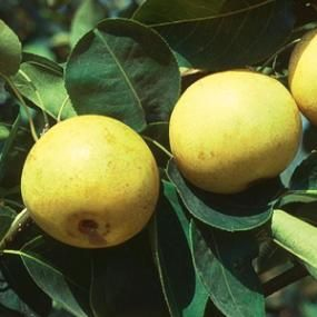 Know Asian pear tree height wish and it