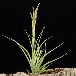 Achat De Tillandsia Plante Sans Terre Racine Crampon Avec
