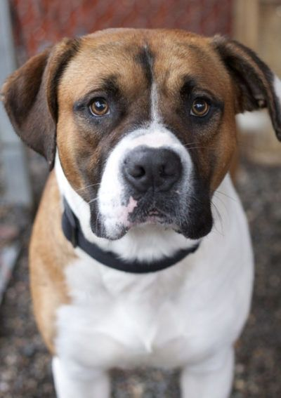 15 Boxer Mixes Loyal Playful Partners Boxer Mixed Breeds Boxer Mix Boxer Mix Puppies Pitbull Mix