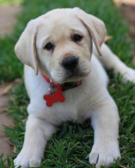 Labrador Retriever Puppy Labradorretriever Labrador Retriever Labrador Puppy Labrador Dog