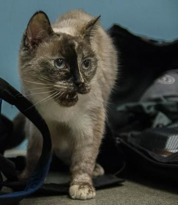 Senior Worcester Ma Siamese Meet Tweety A Cat For Adoption Pets Cat Adoption Kitten Adoption
