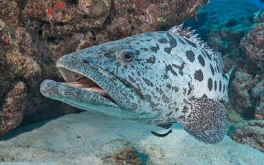 Grouper Fish Coloring Pages