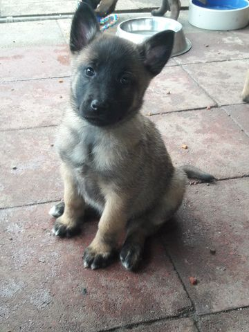 Litter Of 7 Belgian Malinois Puppies For Sale In Vallejo Ca Adn