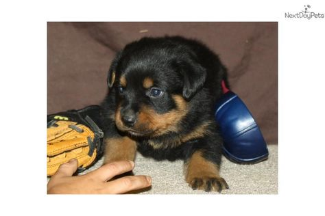 Meet White Collar A Cute Rottweiler Puppy For Sale For 1 500