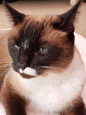 Phoenix Az Snowshoe Meet Gemma A Pet For Adoption Pet Adoption Pets Adoption
