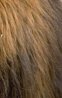 Image result for lion fur texture | OA CPM Cowardly Lion