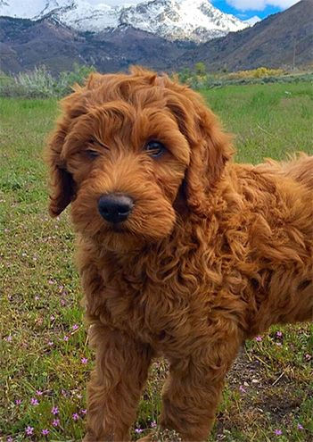 Doodlepups Best Mini Goldendoodles In Utah Mini Goldendoodle