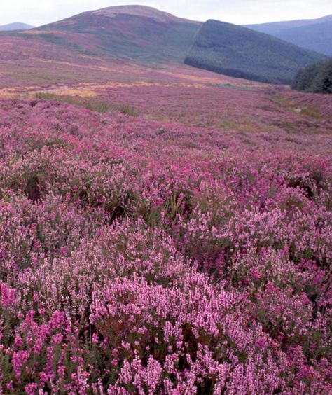 Abundant purple heather lends a heavenly hue to Dublin's picturesque Wicklow Mountains.