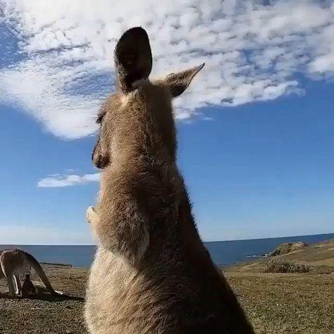 Friday feels. Club Quarantine. 🦘💙   THANK YOU @wavestowilderness for this amazing video!  #fridayvibes #fridayfeels #doalittledance #kangaroodance