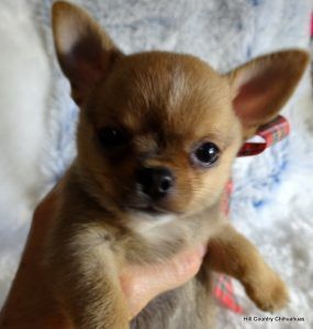 Fort Wayne In Chihuahua Meet Enzo A Pet For Adoption Dogs I