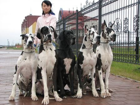 Have You Ever Seen A More Beautiful Pack Of Great Danes Www