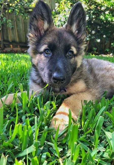 Ready For The Ultimate Collection Of Baby German Shepherds Baby