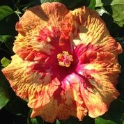 **STEPPIN OUT** Rooted Tropical Hibiscus Plant**Ships In Pot**