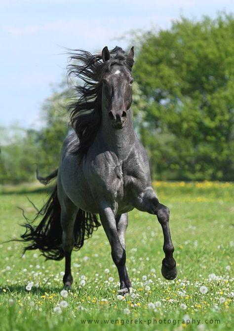Tennessee Walking Horse stallion - DKF's First Blue European, Poland, photo by Karolina Wengerek EQUINE PHOTOGRAPHY.