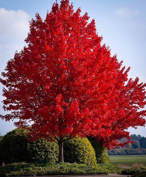 Red Maple Tree Alberi Da Ombra Alberi Da Giardino E Alberi In Fiore