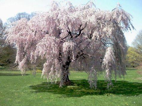 Prunus Subhirtella Pendula Alba Weeping Cherry Alba Weeping Cherry Tree Blossom Trees Weeping Trees