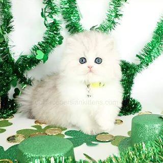 Carrot Top Red White Bicolor Persian Kitten For Saledesigner Persian Kittens For Sale Luxu In 2020 White Persian Kittens Persian Kittens For Sale Persian Kittens