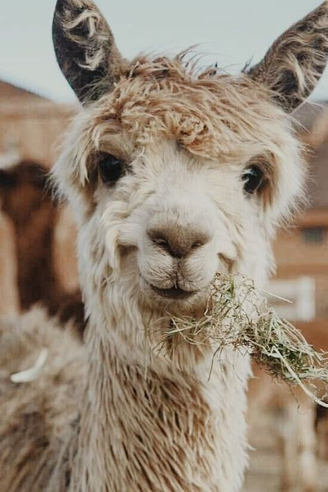 Here Are Some Alpacas With a 10/10 Smile - I Can Has Cheezburger?