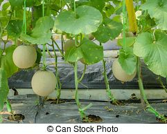 Honeydew Melon Fruit On Its Tree Honeydew Melon Or Cantaloupe Fruit On Its Tree Honeydew Melon Plant Honeydew Melon Fruit Honeydew Melon A freshly ripened cantaloupe straight from your own garden is one of the summer's greatest pleasures. honeydew melon fruit on its tree