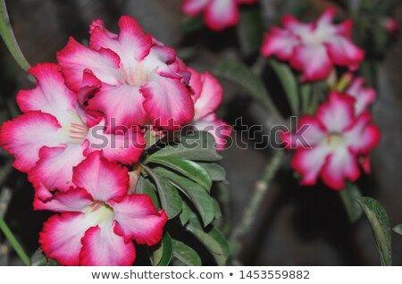 Bunga Kamboja Cambodia Flowers Flowers Plumeria Flowers Frangipani