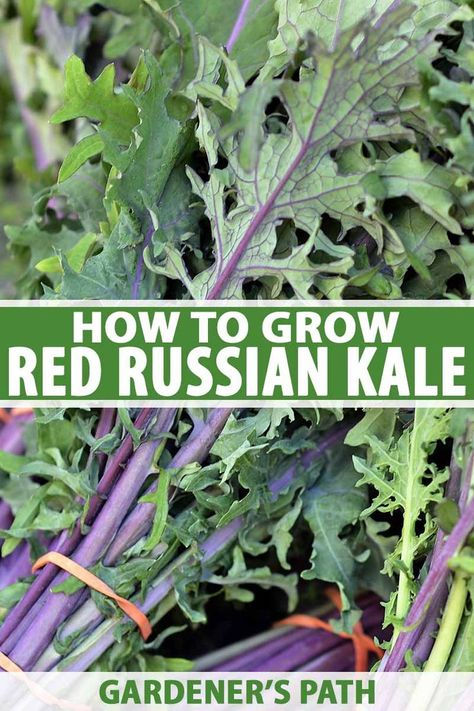 If you're looking for a sweet and tender green for your garden, try Red Russian kale. Learn to grow and harvest this leafy green on Gardener's Path. Organic Vegetables, Growing Vegetables, Organic Fruit, Gardening For Beginners, Gardening Tips, Flower Gardening, Types Of Kale, Red Russian Kale, Red Kale