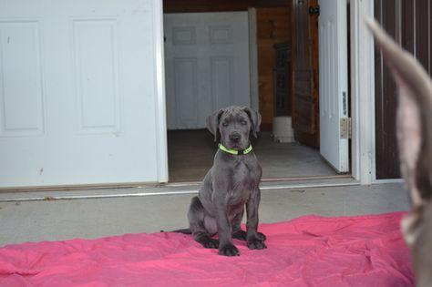 Great Dane Puppy For Sale In Dublin Va Adn 31385 On Puppyfinder