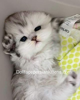 Doll Face Persian Kitten Reviews Kosich Family 660 292 2222 In 2020 Persian Kittens Cute Fluffy Kittens Kittens Cutest Baby