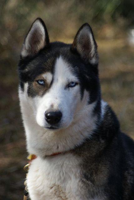 Husky Sable Husky Colors Wolf Hybrid Dogs Wolf Dog