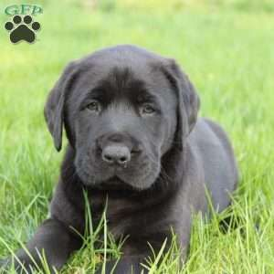 Black Labrador Retriever Puppies For Sale Greenfield Puppies Labrador Retriever Puppies Black Labrador Retriever Black Labrador