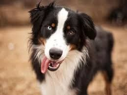 Image Result For English Shepherd And Border Collie Mix