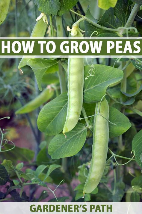 Learn How to Grow Peas at Home