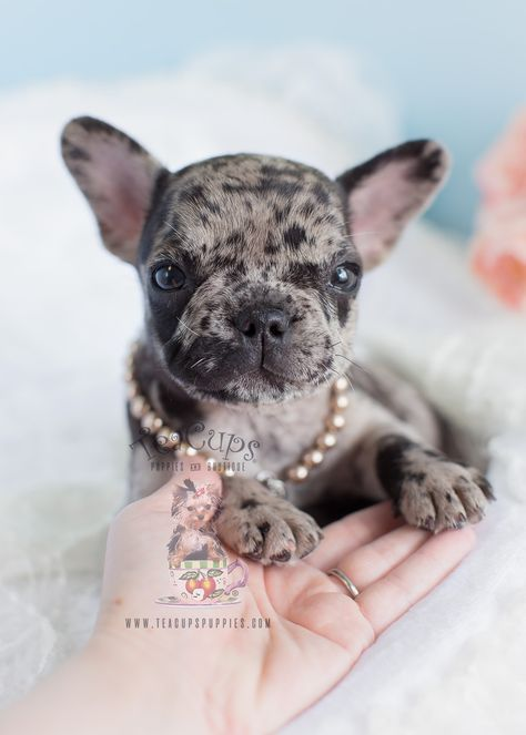 Merle French Bulldog Puppy By Teacups Puppies Boutique Www Teacupspuppies Com Frenchbulldog Pu Merle French