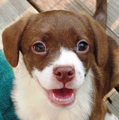 Kalamazoo Mi Puppy Terrier Meet Wiggles Jill M A Dog For