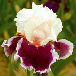 ~Crimson Cloud...Schreiner's Iris Gardens