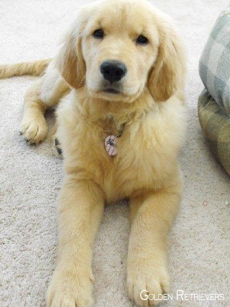Golden Retrievers Puppies Goldenretrieverdog