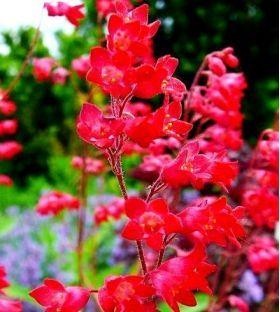Zurawka Ogrodowa 2500 Nasion W Sklep Nasiona Sprawdz Darmowa Wysylke Red Chestnut Plants Chestnut