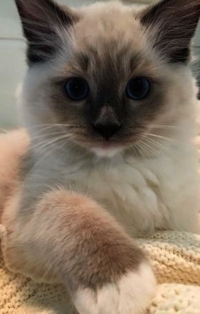 Cat Had Kittens Cats And Kittens For Sale On Gumtree Ragdoll