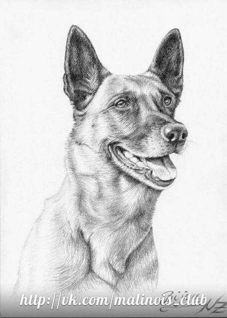 Pin Van Sol Salazar Op Pastor Belga Malinois Dieren Tekenen Dierentekening Hond Tekeningen