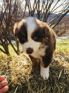Litter Of 5 Australian Shepherd Puppies For Sale In Beckley Wv