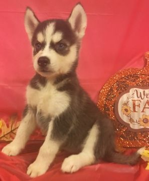 Litter Of 9 Siberian Husky Puppies For Sale In Inman Sc Adn