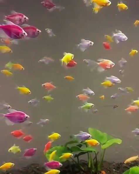 GloFish Aquarium Fish Tanks 🐠 - #glofish #aquarium #fishtank #tetra #danio #barb #shark Video Credit: @aquagibb IG