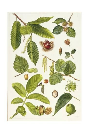 Walnut And Other Nut Bearing Trees Botanical Drawings Leaves Illustration Seed Art
