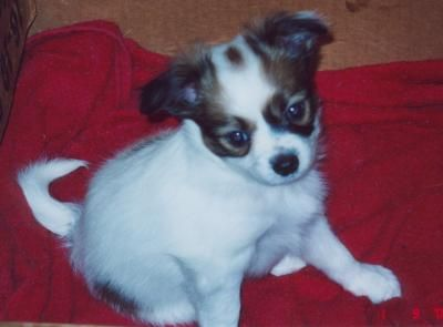 Adorable Papillon Puppy. Papillon Dog Breed Information and Pictures.
