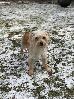 Buffalo Ny Poodle Miniature Meet Charlie A Dog For Adoption