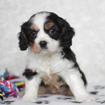 Cavalier King Charles Spaniel Puppy For Sale In Gap Pa Adn 67043 On Puppyfinder Com Gender Male Age 6 Weeks Old King Charles Cavalier Spaniel Puppy