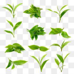 Leaves Png Leaves Transparent Clipart Free Download Watercolor Painting Sunlight Wallpaper Ink Watercolor Ba Green Leaf Tea Matcha Latte Green Tea Powder