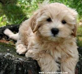 List of Pinterest cockapoo puppies merle pictures